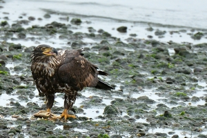 Subadult bald eagle with crab, Anacortes, WA. Photo by Dave Templeton